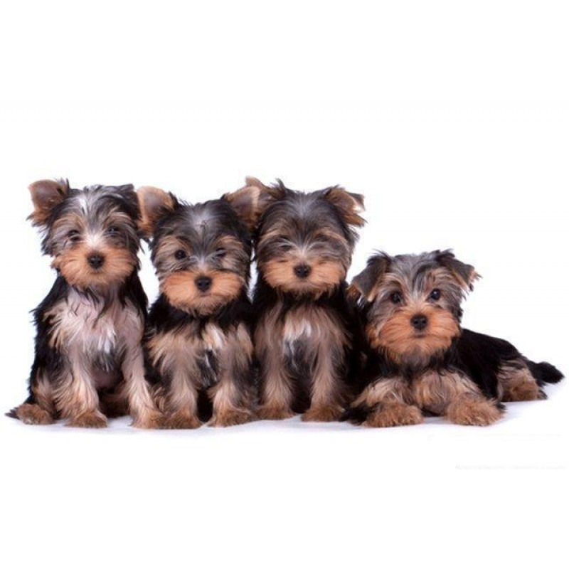 Yorkshire Terrier Be...