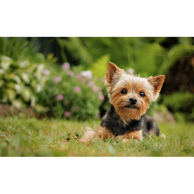 Yorkie Cute Diamond ...